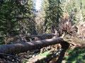 ..... umgfallene Bäume kreuzen immer wieder meinen Weg ....... stellen aber kein Problem dar.