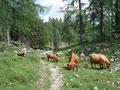 Kurz vor Erreichen der Wildenseealm querte auch noch eine Horde Hochlandrinder unseren Weg.