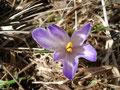 In den höheren Lagen wurde die Natur noch fest vom Winter gefangen gehalten. Hier unten im Tal war der Frühling mit all seiner Farbenpracht schon längst voll im Gange. Die Krokusse sprießten förmlich so aus dem Boden. Einmal in lila und …