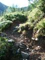 Durch die Herde hindurch wanderte ich über saftiges Almgelände mit schönen Lärchen- und Zirbenbeständen Richtung Triebener Törl.