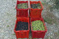 Olivenernte, der richtige Mix macht´s