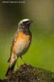 Gartenrotschwanz (Männchen) - ein seltener Sommergast