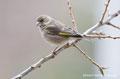 Grünfink (Weibchen)