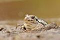 Knoblauchkröte (Pelobates fuscus)