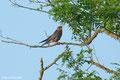 Falco cuculo (maschio)