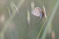 Lycène  Polyommatus Icarus