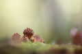 Pholiota squarrosa