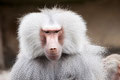 babouin cynocéphale