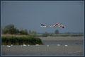 Flamingo's boven de Oostvaardersplassen. De linker vogel is een roseus. De anderen zijn Chileense.