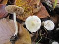 Erdblättriger Risspilz (Inocybe geophylla),giftig