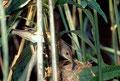 Rousserolle Effarvatte  (Parasitée par un coucou)