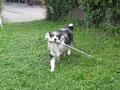 Smokey in Ausbildung zum Therapiehund