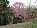 B 鎌足コース5番 山桜