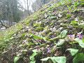 山辺散策コース 斜面では開花