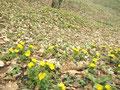 一番咲きコース 福寿草満開