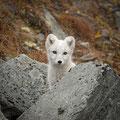 Junger Polarfuchs / Ung fjellrev, Dovrefjell