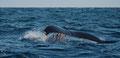 Die Schwanzflosse kann über 5m breit werden! / Halefinnen kan bli over 5m bred!