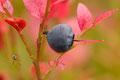 Blåbær og edderkopp / Heidelbeere und Spinne