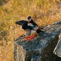 Papageitaucherpaar - ewige Treue / Lundefuglpar - trofast livet ut