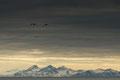 Hvitkinngjess over Isfjord / Nonnengänse über dem Isfjord