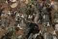 Basstölpelkolonie mit Nestern aus Abfall / Havsulekoloni med reir av søppel