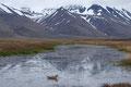 Polarsvømmesnipe / Thorshühnchen