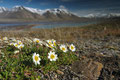 Reinrose over Adventdalen / Weiße Silberwurz über dem Adventdalen