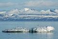 Rødnebbterner på et isflak i Isfjorden / Küstenseeschwalben auf einer Eisscholle im Isfjord