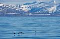 Alkekonger over Isfjorden / Krabbentaucher über dem Isfjord
