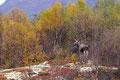 Elchkuh im Herbstwald / Elgku i høstskog, Fokstumyra