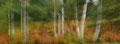 Geiterams i høstlig bjørkeskog / Weidenröschen im herbstlichen Birkenwald