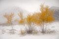Herbstbirken im Schnee / Høstbjørker i snø, Dørålen, Rondane