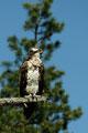 Rufender Fischadler / Ropende fiskeørn