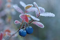 Blokkebær / Rauschbeere