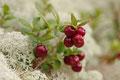 Tyttebær / Preiselbeere