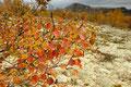 Høstbbjørk i / Herbstbirke im Dørålen, Rondane