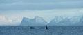 Schwertwale vor den Bergen von Senja / Spekkhoggere foran Senja-fjellene