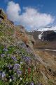 Polarflokk / Jakobsleiter (Polemonium boreale)