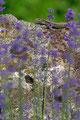 Murfirfisle og lavendel / Mauereidechse und Lavendel