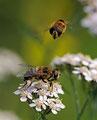 Schwebfliegen / Blomsterfluer