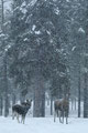 Sølv/Silber (36 poeng/Punkte): Elgku med kalv i snøvær / Elchkuh mit Kalb im Schneetreiben