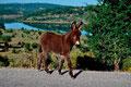 Junger Esel bei Pratobello. Foresta di Montes