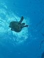 「空飛ぶカメ」 撮影場所:日本、沖縄県、慶良間諸島