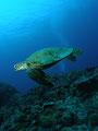 「アオウミガメ」 撮影場所:日本、沖縄県、慶良間諸島