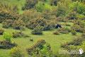 Orso Bruno Marsicano - Parco Nazionale d'Abruzzo Lazio e Molise