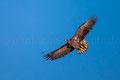 junger Seeadler