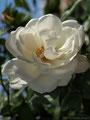 exquisite white rose. 12-2011