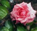 Pink  05-2011