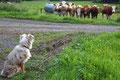 16.08.2011 - Die Kühe-beobachten