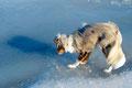 31.01.2012 - Foxi in der Eiszeit